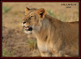 FEMALE LIONESS (Panthera leo)......MASAI MARA......SEPT 2016