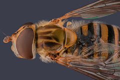 Hoverfly (Mert Filiz) Tags: fly insects bugs focusstack nature wild macro macrophotography closeup micro nikon wings stackshot focusstacking ngc extrememacro