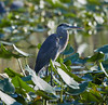 12-31-17-7545 (Lake Worth) Tags: animal animals bird birds birdwatcher everglades southflorida feathers florida nature outdoor outdoors waterbirds wetlands wildlife wings