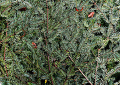 Pine needles (Fabrizio Iannaccone) Tags: aghi di pino pine needles nature green natura verde albero tree varsavia 2017 nikon warsaw d5500 pattern trama macro pianta