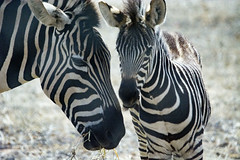Zebra Mother and Foal (ChrisKirbyCapturePhotography) Tags: zebra mother andbabyanimal animal monartozoologicalpark southaustralia stripes blackandwhite