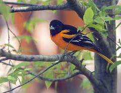 IMG_7120 Baltimore Oriole (suebmtl) Tags: bird birding ontario longpoint baltimoreoriole springmigration springmigrant male adult icterusgalbula