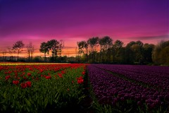 Red-Purple Tulips (l.cutolo) Tags: tlp water ngc saturation netherlands sony tulips landscape highcontrast hollandscape blomen flowers worldtrekking nex7 dutchlandscape onesoftware worldtrekker flickr sunset perfecteffect redsky tulip e18200mmf3563oss
