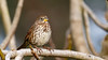 Fox Sparrow (Bob Gunderson) Tags: birds california fortmason foxsparrow northerncalifornia passerellailiaca sanfrancisco sparrows