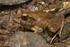 Fleay's Barred Frog (Mixophyes fleayi) (Brendan Schembri) Tags: australia wildlife wild brendanschembri canon mixophyesfleayi fleays barred frog