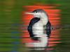 Red throated Diver (laagwater) Tags: redthroateddiver roodkeelduiker gaviastellata nikond300 nikonafs500mmf4 amersfoort ngc