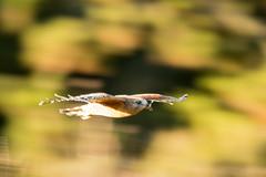 DSC_5985.jpg Red-shouldered Hawk, San Lorenzo River (ldjaffe) Tags: schwanlake redshoulderedhawk
