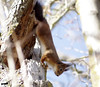 _IMG4978 (fr€d-r0c-31) Tags: sud sigma domaine ddo bokeh mazères pentax k3 wwwlesamisdudomainedesoiseauxfr fredroques france écureuil roux