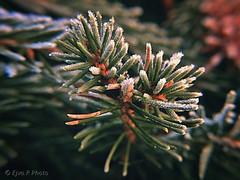 Zúzmara Tél / Rime  Winter (ejva.r007) Tags: zúzmara tél winter frost makro frosty branch christmas trees
