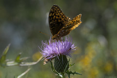 Butterfly 2017-177 (michaelramsdell1967) Tags: lepidoptera pollen fritillary butterfly moth insect butterflies macro nature animals animal green bokeh meadow field insects vivid vibrant closeup upclose wild wilderness thistle color bug bugs yellow outside zen detail