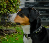 Greater Swiss Mountain Dog Harry (frankmh) Tags: dog mountaindog greaterswissmountaindog hittarp skåne sweden outdoor portrait