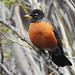 Teton - American Robin
