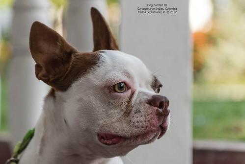 Dog portrait III