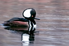 Hooded Merganser (Chatham Sound) Tags: britishcolumbia canada 124 fauna birds ducks hoodedmerganser nikond5