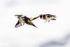 _JHS9548 (Bribes de terre) Tags: faune oiseau hiver chardonneret