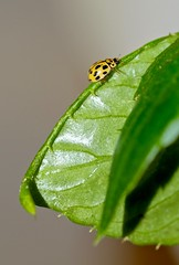 En las hojas .... (valorphoto.1) Tags: seleccioónvp natural flora fauna naturaleza insecto hojas photodgv