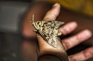 Podalia orsilocha - Flannel Moth (Cramer, 1775)