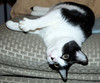 Flash is frisky (MichaelGat) Tags: cat tuxedo tuxedocat heating pad heatingpad