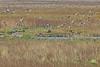 Marsh Attacks (Roy Lowry) Tags: marshharrier teal lapwing anascrecca vanellusvanellus circusaeruginosus parkgate riverdee