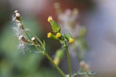 Senecio y pulgones (esta_ahi) Tags: pulgón pulgones aphididae hemiptera insectos fauna flora compositae asteraceae senecio vulgaris seneciovulgaris casa