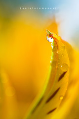Summer Vibes (Daniela Romanesi) Tags: 4825 yellow amarelo petals petal pétala folha drops dropsofwater astromelias astromelia astroemeria gota gotadeágua gotadágua aftertherain summercolors summervibe vibrante colorido sky céu macro macrophotography