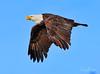 Bald Eagle (Chris Parmeter Photography) Tags: bald eagle bird flying animal sky majestic feathers detail washington canon 5dsr 300mm f28 14x tc