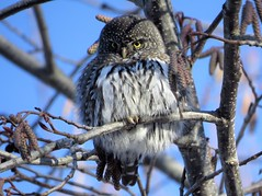 Northern pygmy owl (westietess) Tags: backyardbirds terrace cbc glaucidiumgnoma