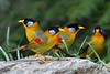 Get together (Silver-eared Mesia) (My Pixel Magic) Tags: birdphotography birds birdofmalaysia silverearedmesia nature naturecolor beautifulbird wildlife wildlifephotography