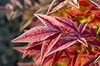 Frosty Red Leaves (s.d.sea) Tags: pentax k5iis plants nature plant green garden macro washington washingtonstate pnw pacificnorthwest king county seattle eastside kirkland lwtech lake tech arboretum horticulture fall winter