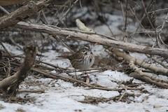 Song Sparrow nattily dressed 2018-01-02 ©Kevin S Lucas (kevinslucas) Tags: kevinlucas poppoffsparrowpatch poppoff songsparrow sparrow professor eyebrows