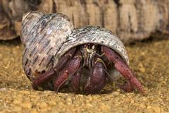 Hermit Crab, CaptiveLight, Ringwood, Dorset, UK
