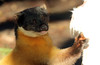 Yellowthroated marter Ouwehands BB2A4292 (j.a.kok) Tags: marter maleisebontemarter yellowthroatedmarter asia azie maleisie malayan animal ouwehands mammal zoogdier dier