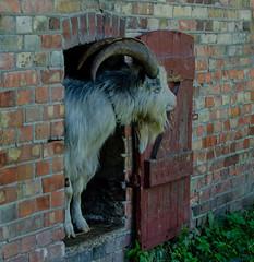 Good morning! (frankmh) Tags: goat morning fredriksdal helsingborg skåne sweden outdoor animal