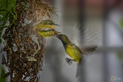 030a_IMG_3354_olive-backed-sunbird (Writer,Thai Photographer) Tags: นก ลูกนก นกกินปลี นกกินปลีอกเหลือง ป้อนอาหาร วงจรชีวิต bird feeding lifecycle olivebackedsunbird