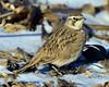 DSC_8925=2HLark (laurie.mccarty) Tags: hornedlark bird wildlife winter snow outdoor nature nikon