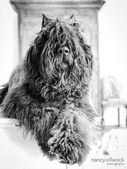 1-52-2018 Grady (prlygrl) Tags: grady bouviers bouvierdesflandres 52weeksfordogs dog blackandwhite