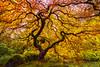 Pride of Portland (carolina_sky) Tags: portlandjapanesegardens japanesemaple fallcolors branches leaves tree rock moss canopy pond backlight rainbow oregon skymatthewsphotography pentaxk1 pentax1530mm pixelshift