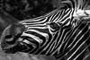 Zèbre (Agro Fabrice) Tags: tête zoo zèbre félin animal
