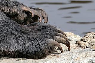 Bear Claws - (An older shot) ©