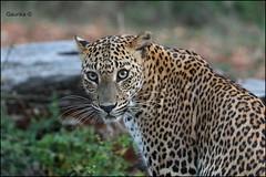 Sri Lankan leopard (Panthera pardus kotiya) @ Lunugamvehera National Park / Yala Block 5 (GaurikaW) Tags: gau gaurika gaurikaw srilankan leopard pantheraparduskotiya lunugamveheranationalpark yala block 5 