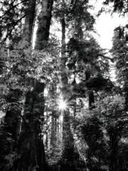 zon schijnt door bomen mora campground (bert.depoorter) Tags: sun zon mora campground campinggroteocean greatocean shining starster bw blackandwhite art hdr