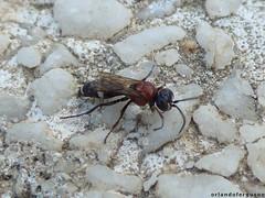 Harpactus sp. (Orlando Bees) Tags: crabronidae spheciformes grabwespen bembicinae