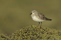 An amazing traveller- White-rumped Sandpiper (Chantal Jacques Photography) Tags: whiterumpedsandpiper wildandfree bokeh depthoffield diddledee