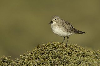 An amazing traveller- White-rumped Sandpiper