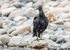 Black Vulture (tickspics ) Tags: amazonbasin blackvulture cathartidae coragypsatratus newworldvultures peru southamerica tropicalrainforest manú manúbiospherereserve manúnationalpark ríoaltomadrededios