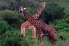 Cuelludas (Don César) Tags: africa tanzania animals jirafas giraffe trees two friends x serengeti nationalpark