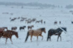 (prairiegirrl) Tags: winter wildhorses mustangs southdakota