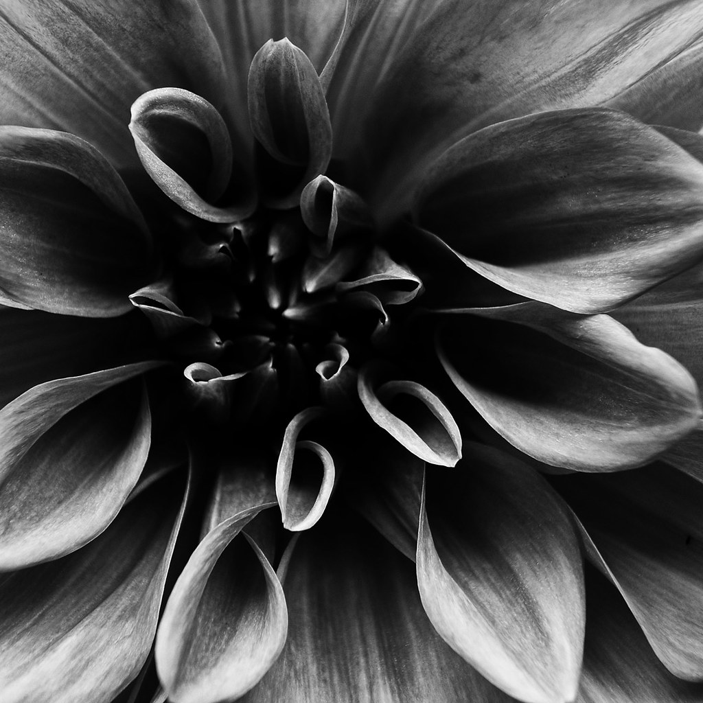 The Worlds Best Photos Of Blackandwhite And Dahlia Flickr Hive Mind