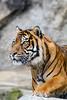Was ist da drüben los (S.Angerstein) Tags: sumatratiger tierparkberlinfriedrichsfelde tiger pantheratigris pantheratigrissumatrae