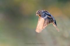 Visiteur du nord (mickeynounet) Tags: vol pinson pinsondunord photofaune photographienature wildlifephotography birds bird normandie oiseaux nord fringillamontifringilla